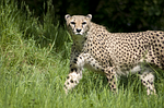 Which Airsofting Animal are You?-Cheetah   AirsoftWarrior.net