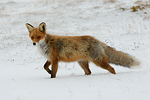 Which Airsofting Animal are You?-Fox   AirsoftWarrior.net
